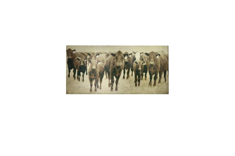 Bovine Canvas Art