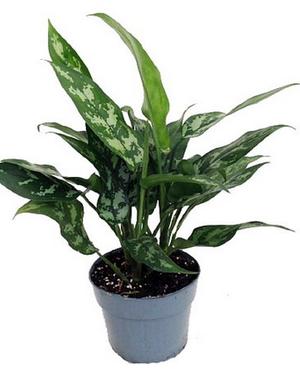 "Plant - 6"" - Aglaonema (Chinese Evergreen)"