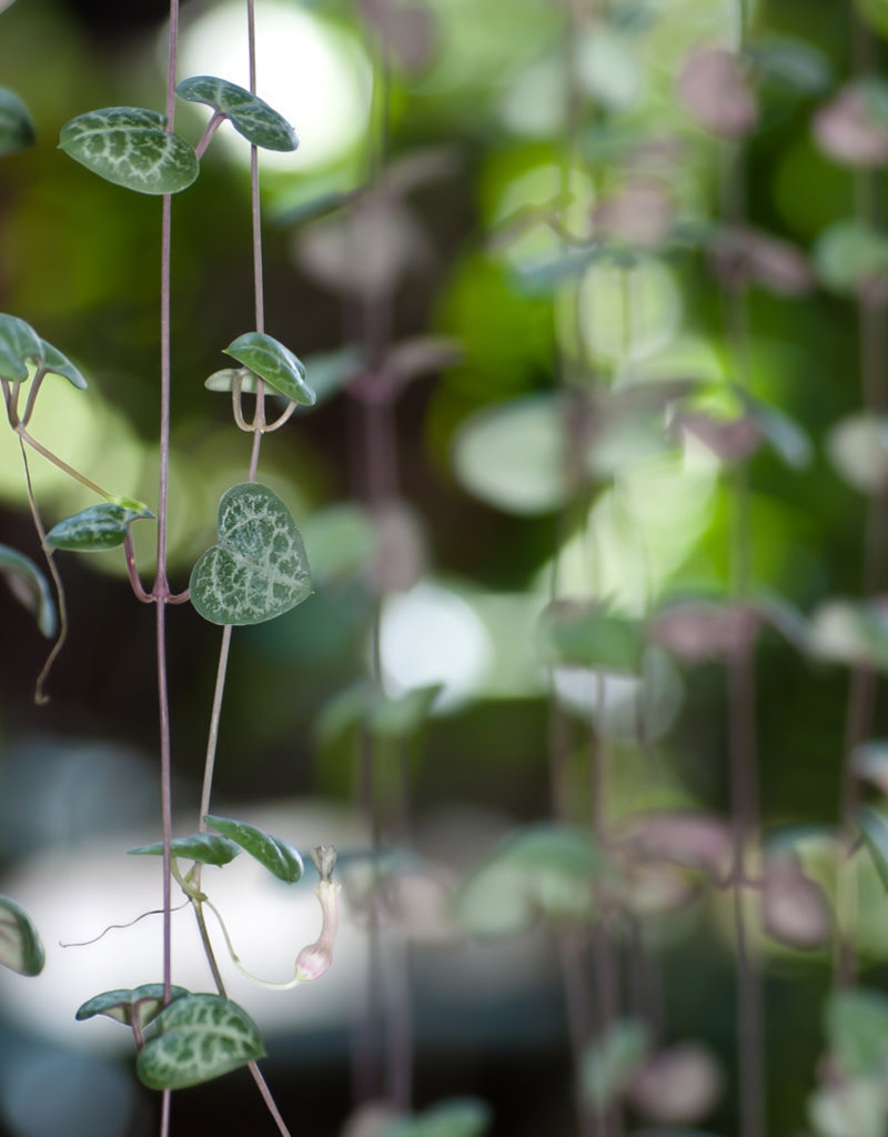 "Plant - 4"" - String of Hearts (Rosary Vine)"