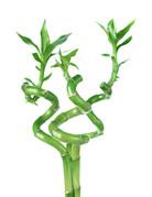 """Bamboo - 12"""" - Spiral"""