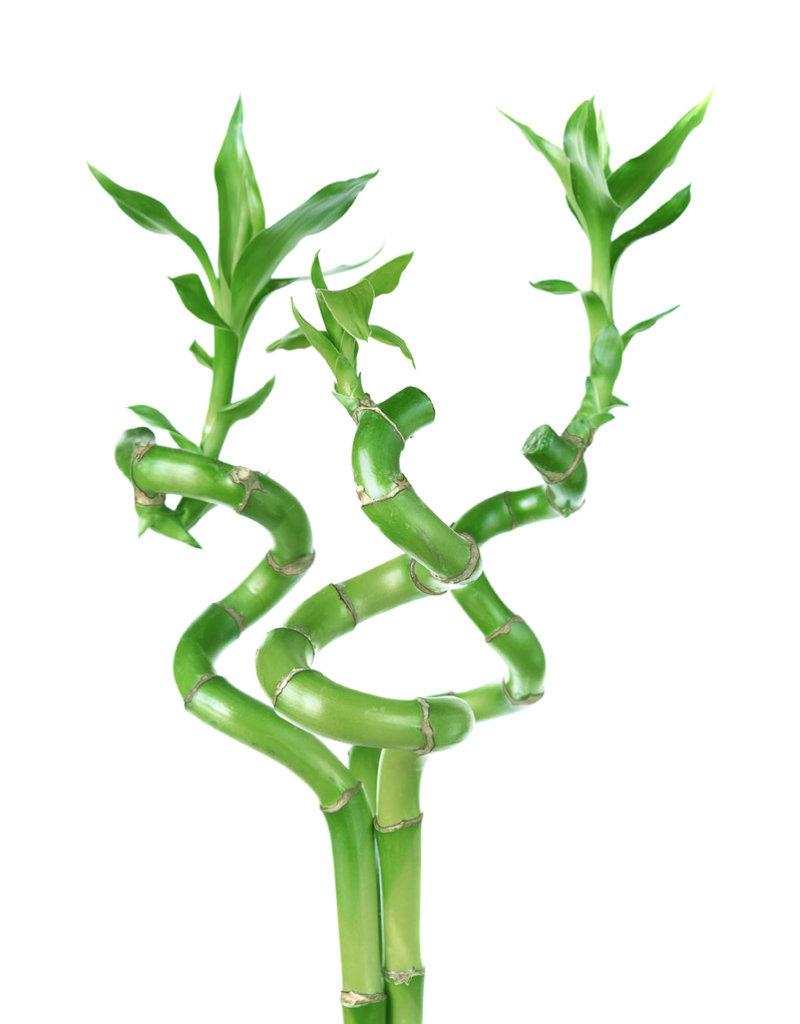 """Bamboo - 8"""" - Spiral"""