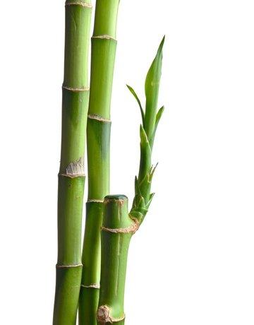 """Bamboo - 12"""" - Straight"""