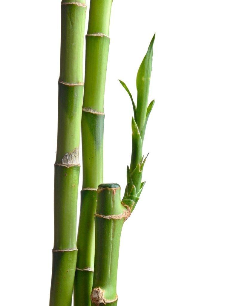 """Bamboo - 4"""" - Straight"""