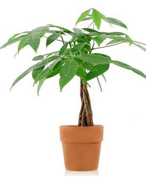 """Plant - 6"""" - Money Tree"""