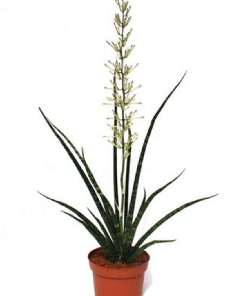 "Plant - 10"" - Fernwood Snake"
