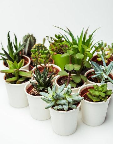 """Succulent - 4"""" - Assorted"""