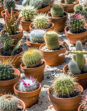 "Plant - 2"" - Cactus Pot Assorted"