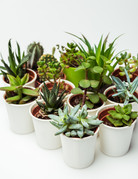 "Succulent - 2"" - Assorted"