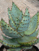 "Plant - 6"" - Aloe Vera Marlothii (Mountain Aloe)"
