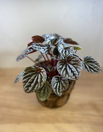 """Plant - 4"""" -  Peperomia"""
