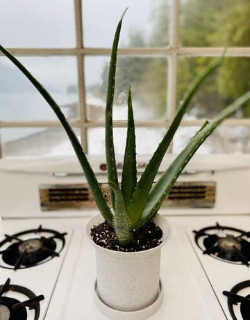 Aloe in Angus & Celeste Planter - 6""