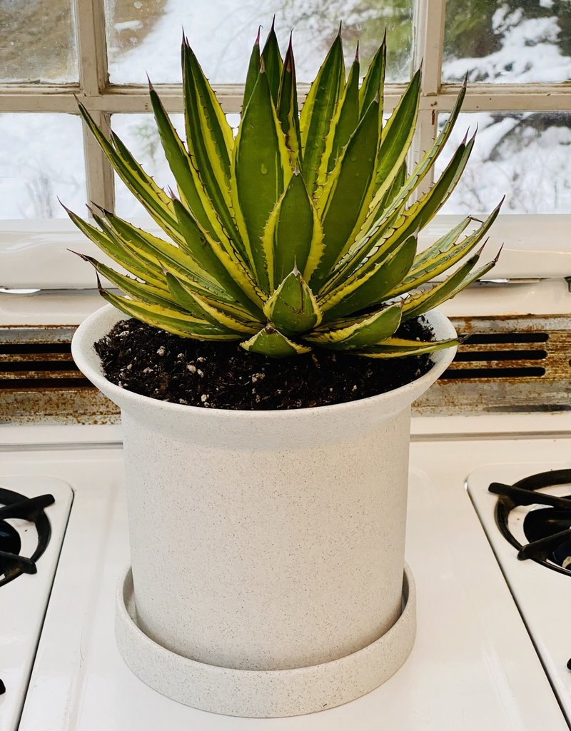 Agave in Angus & Celeste Planter - 9""