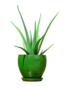 "Plant - 6"" - Aloe Vera"