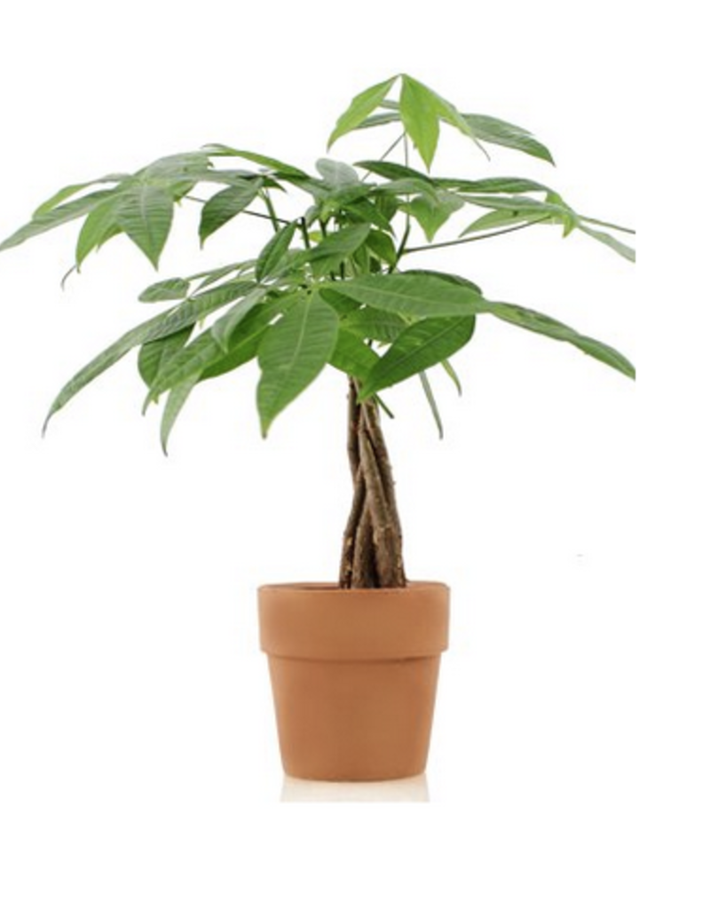 "6"" Money Tree in Wooden Pot Cover"