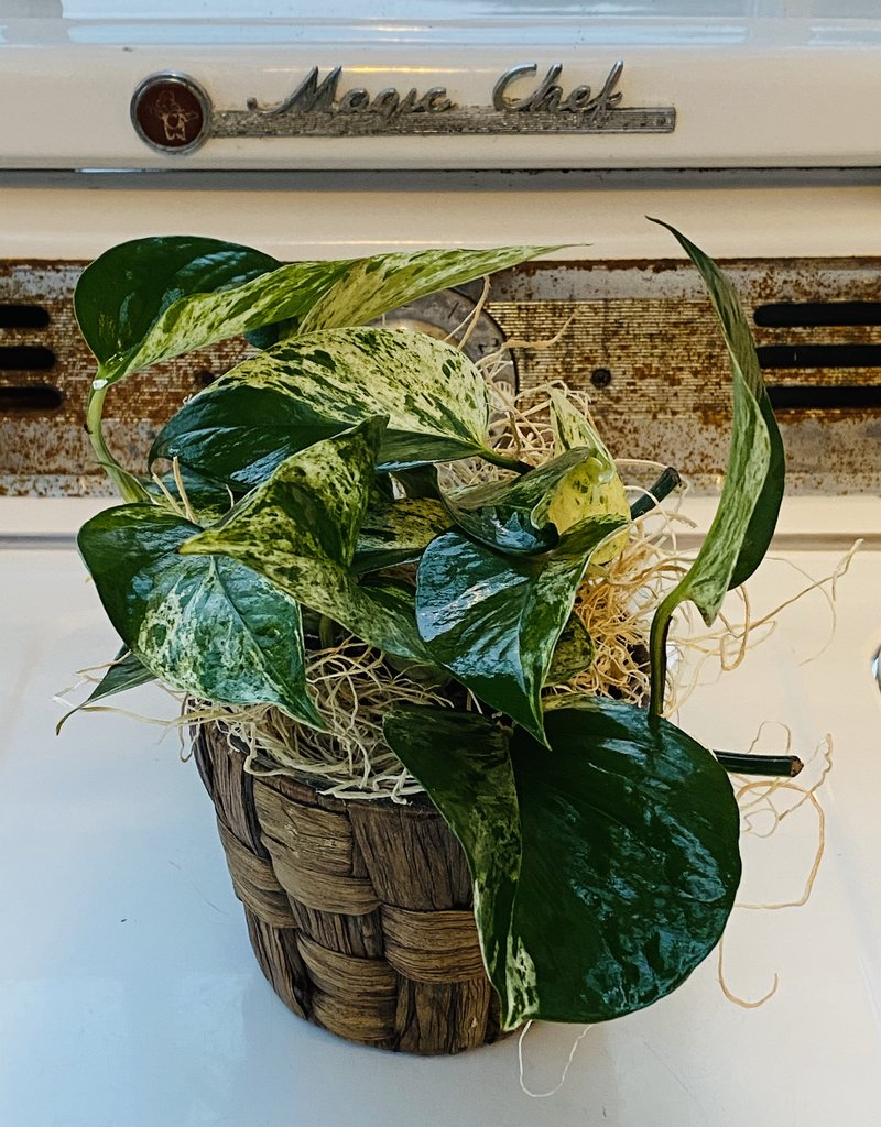 "4"" Assorted Foliage in Banana Leaf Pot"
