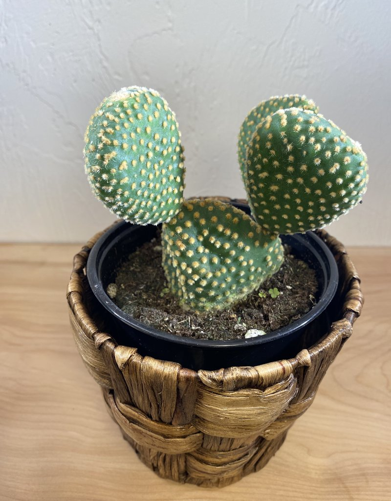 "6""  Aloe Vera Marlothii (Mountain Aloe) with Assorted Cacti in Self-Watering Angus & Celeste Planter"