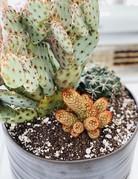 "10"" Opuntia in Angus & Celeste Planter - 9"""