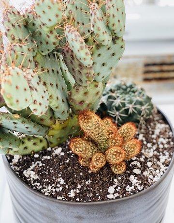 """10"""" Opuntia in Self-Watering Angus & Celeste Planter - 9"""""""