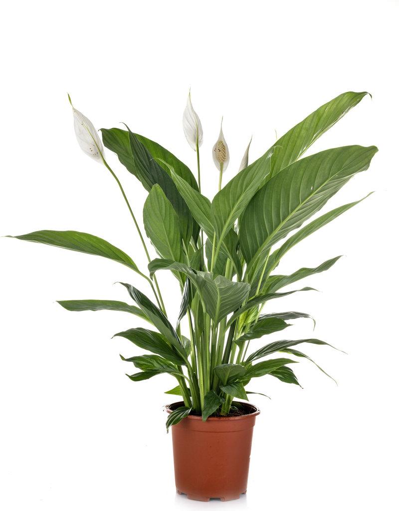 "6"" Spathiphyllum in Nursury Pot"