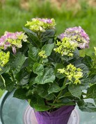 "Plant - 6"" - Hydrangea"