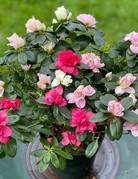 "Plant - 6"" - Azalea Plant - Assorted Colors"