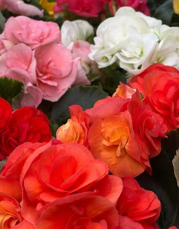 "Plant - 4"" - Begonia - Rieger Assorted Colors"