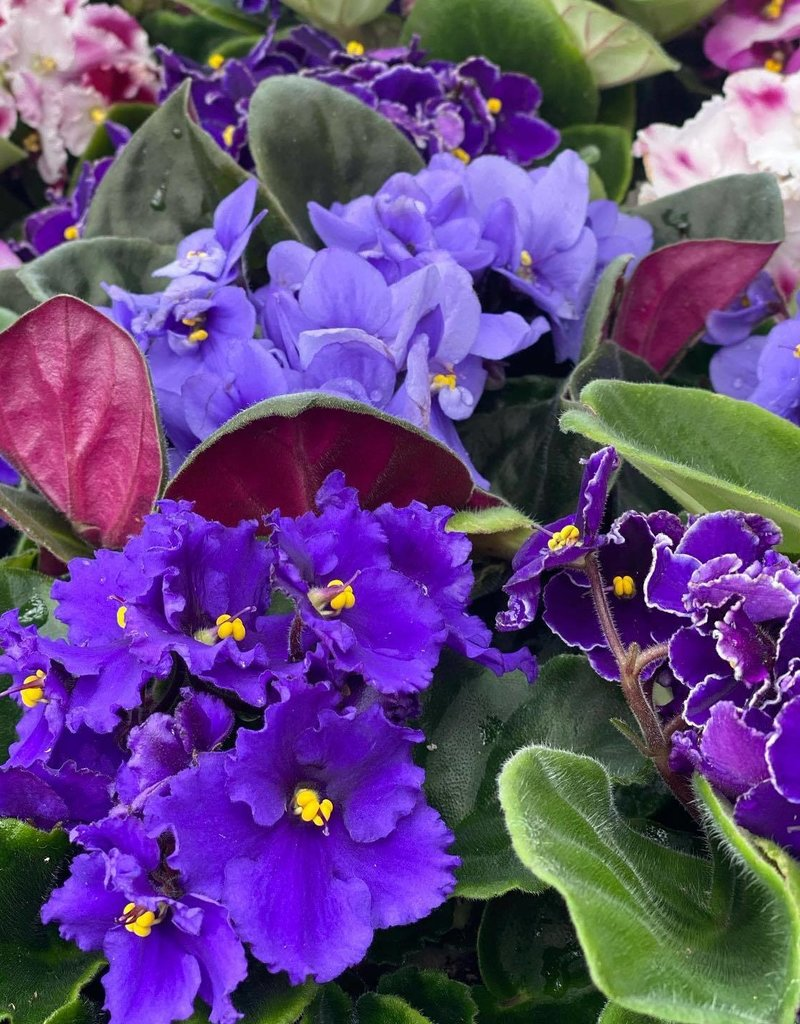 "Plant - 4"" - African Violet - Assorted Colors"