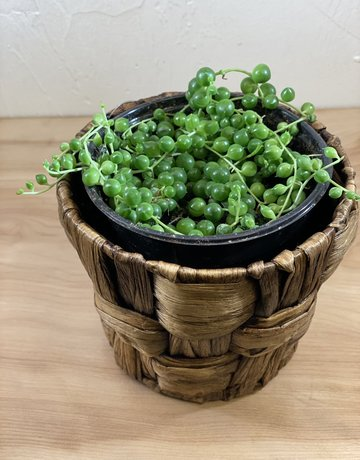 "Succulent - 4"" - String of Pearls"