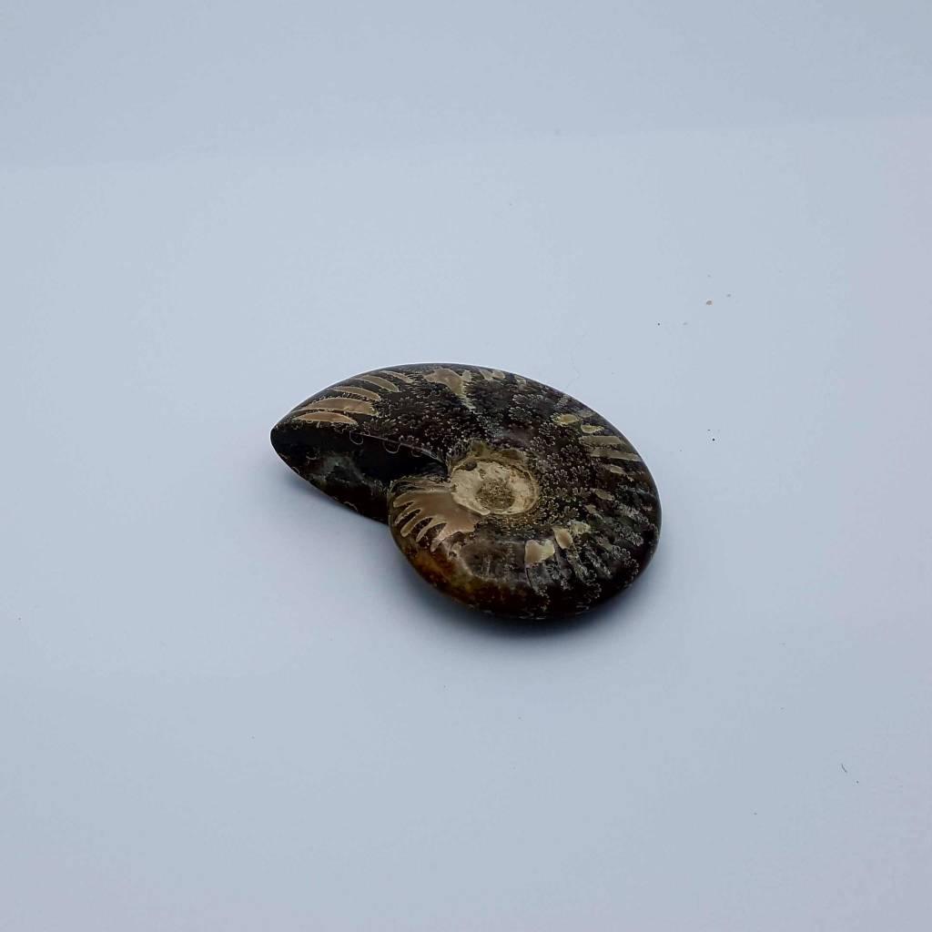 ammonite petit