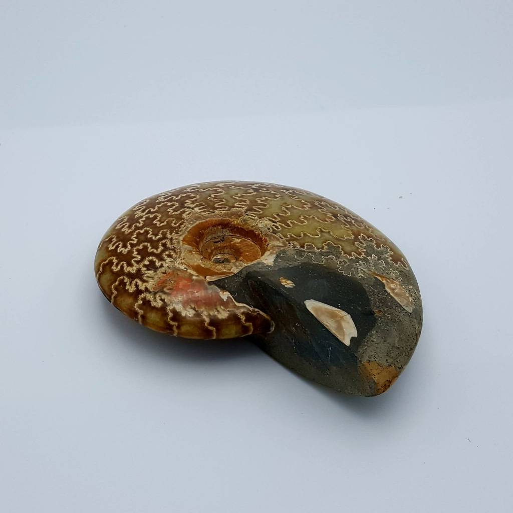 Ammonite polie 14cm