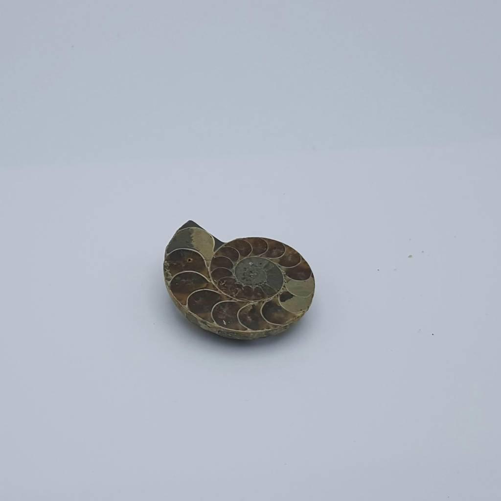 demi-ammonite 5cm