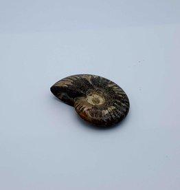 Ammonite 7cm x 2.5cm