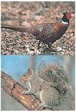 Delta Delta #117 Pheasant/Squirrel Target