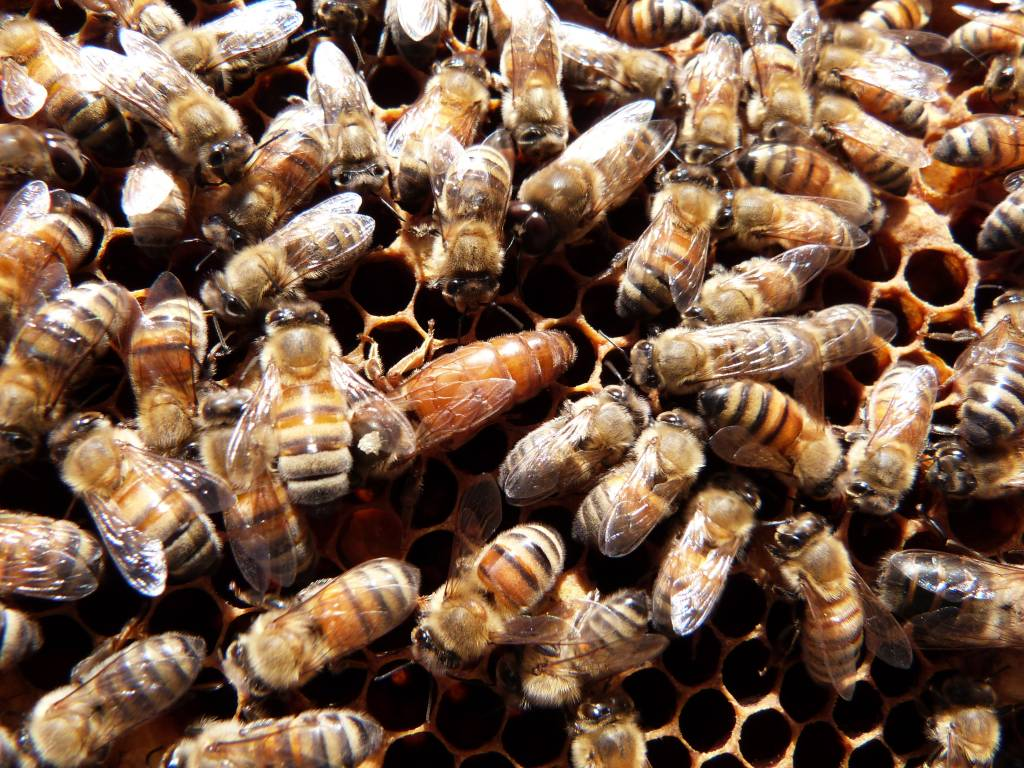 3lb PACKAGE of Bees with Queen 2019