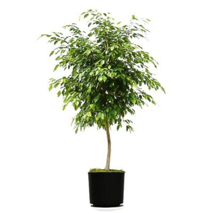"Ficus Benjamin Standard 10"""