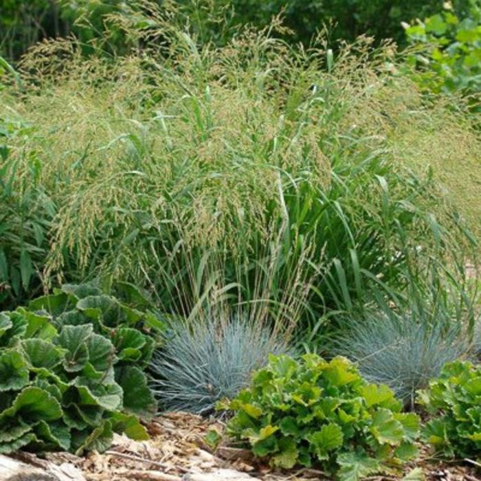 Panicum virgatum Cape Breeze 1