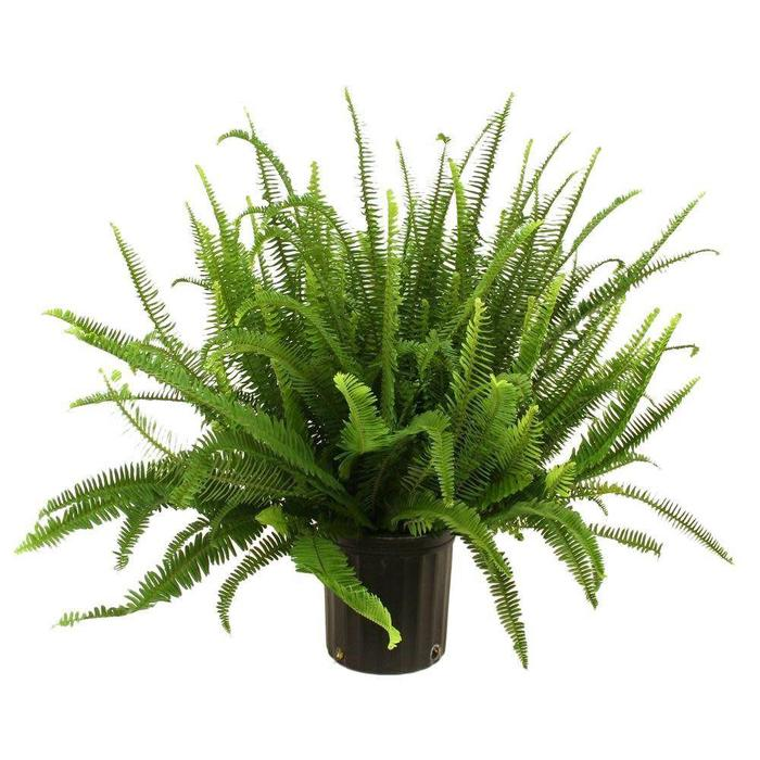 Fern Kimberly Queen 12""