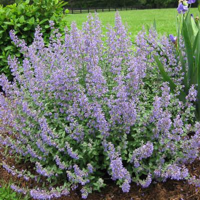Nepeta Walkers Low Cat Mint 1
