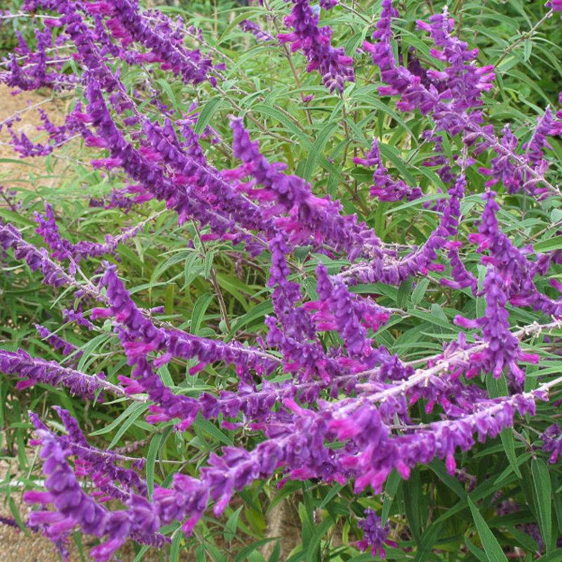Salvia leucantha Mexican Bush Sage qt
