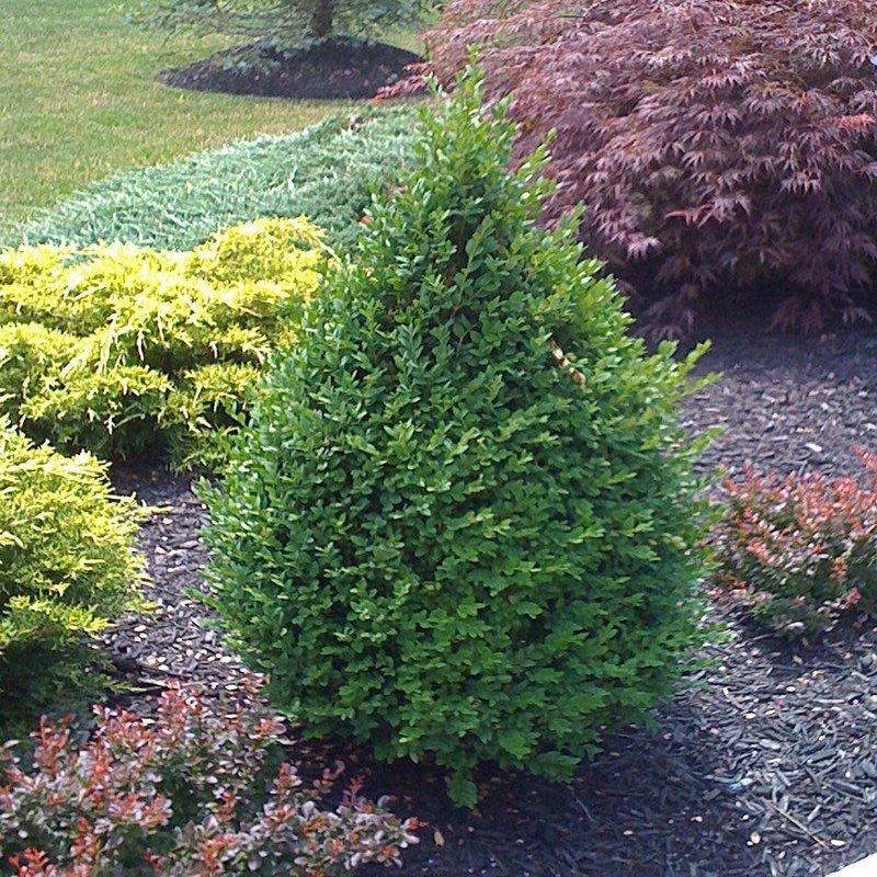 Buxus Green Mountain Premium Boxwood 3
