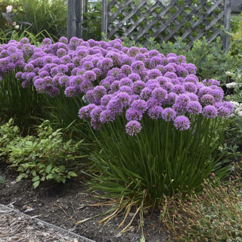 Allium Millenium qt