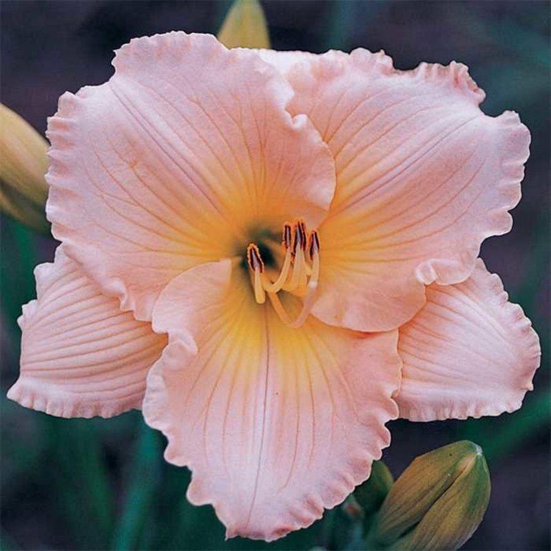 Hemerocallis Fairy Tale Pink Daylily 1