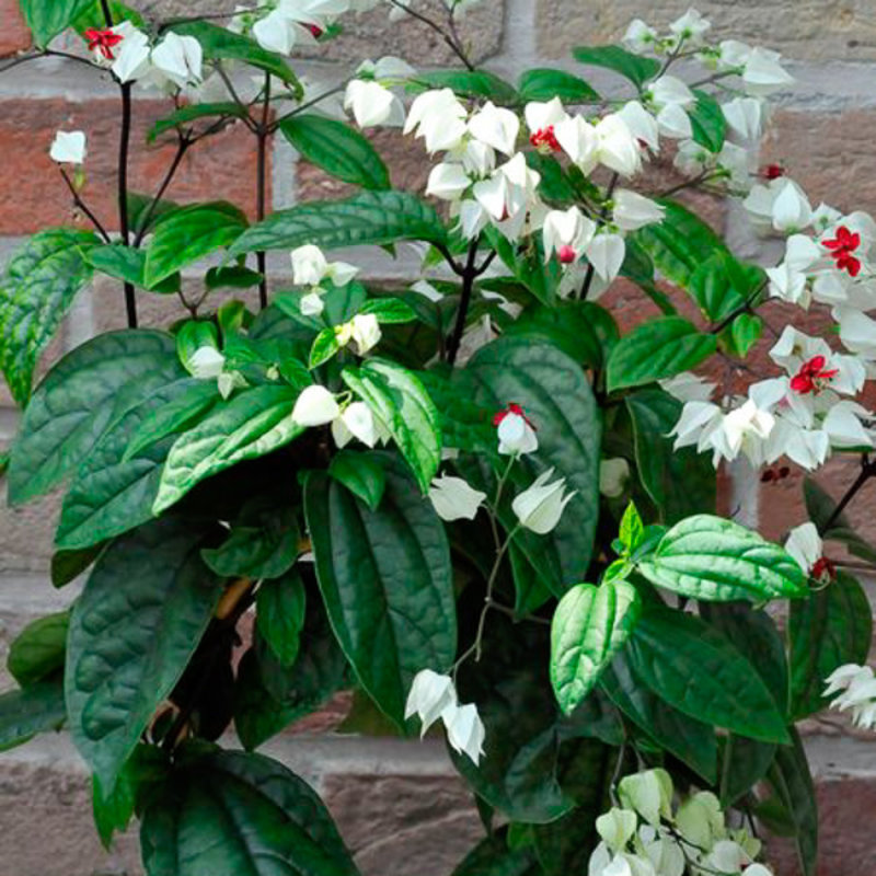 HB Clerodendron Bleeding Heart