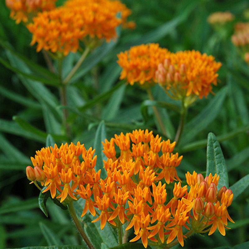 Asclepias tuberosa Orange Butterflyweed 1