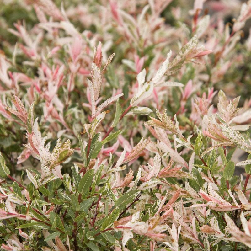Salix, Hakor Nishiki Dappled Willow 3