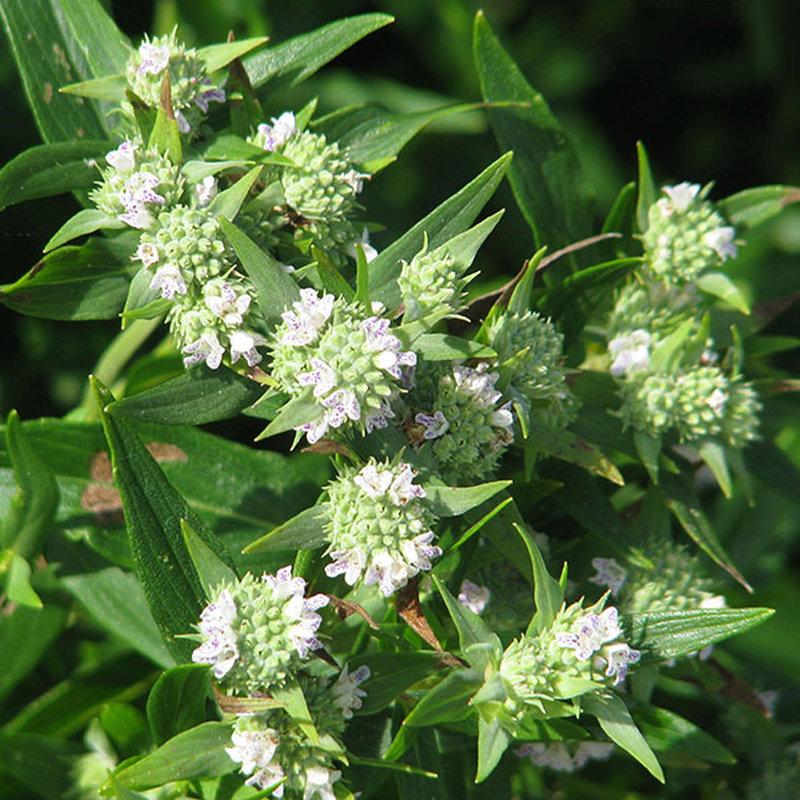 Pycnanthemum muticum Mountain Mint 1
