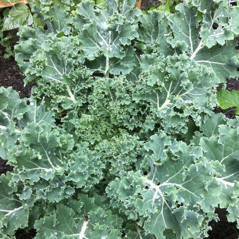 Kale Vates Blue Curl 4 Pack