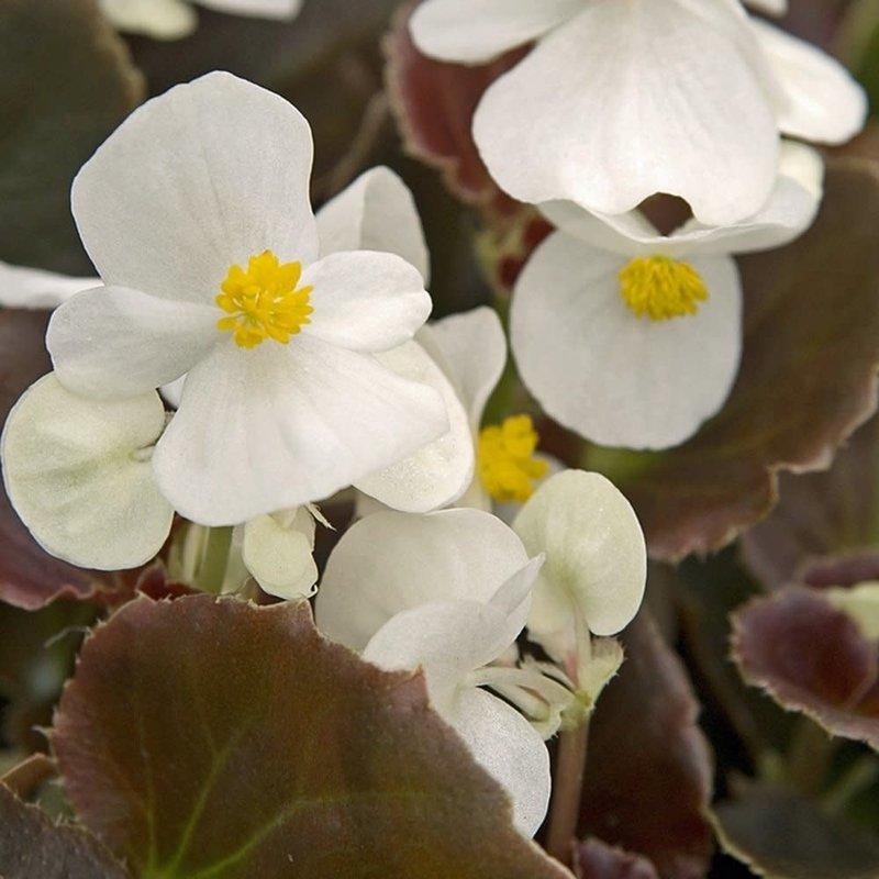 Begonia Whiskey White 4 Pack