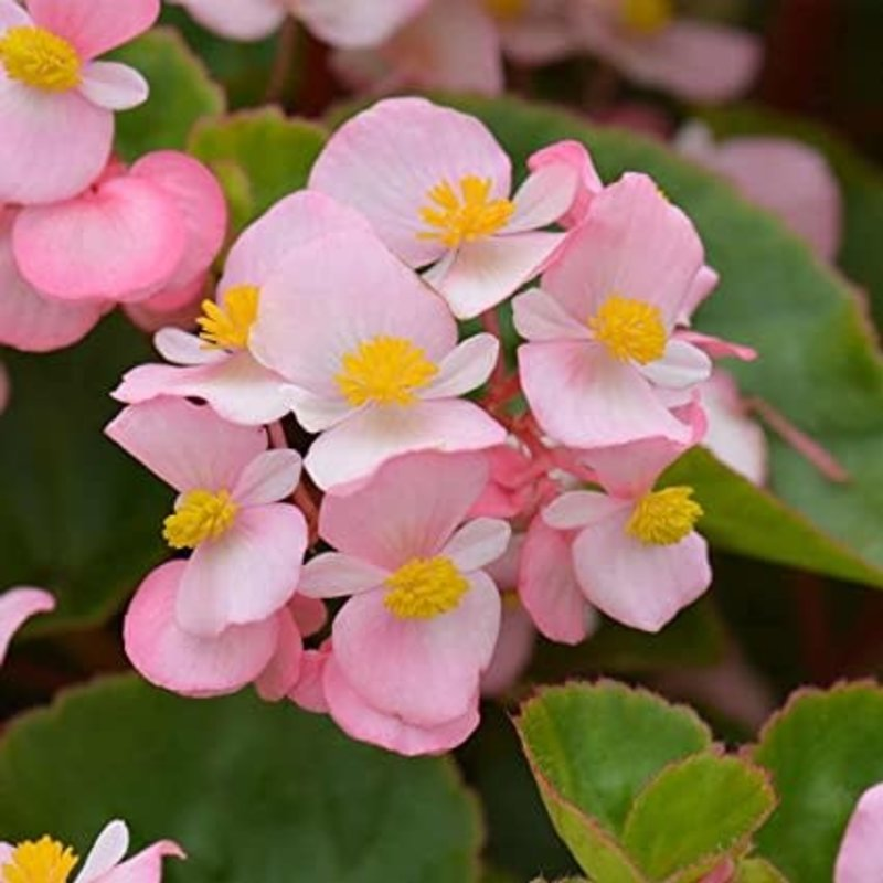 Begonia Olympia Pink 4 Pack