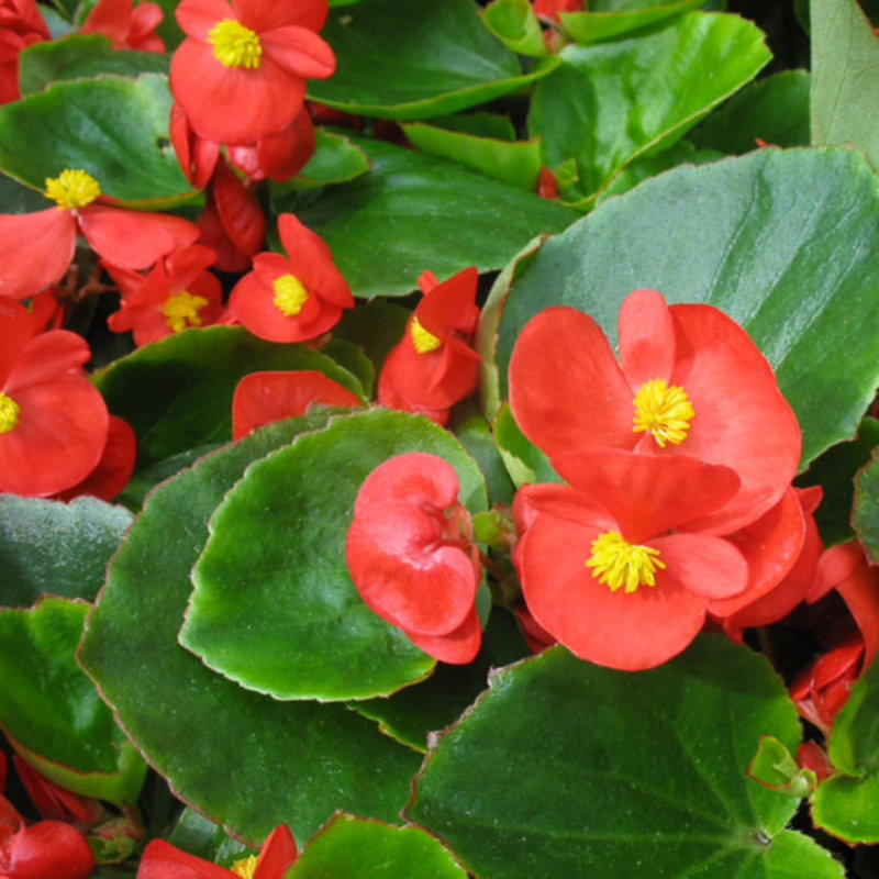 Begonia Olympia Red 4 Pack